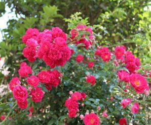 BIỆT THỰ GARDEN ROSE 3 PHÒNG NGỦ, SAPA